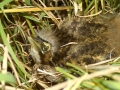 A.Bittern-chick-50m-from-nest-18-days-old. M.Herring