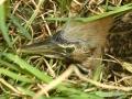 A.Bittern-chick-headshot-50m-from-nest-18-days-old-MHERRING-1024x683.jpg