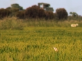 A.Bittern-in-rice-with-sheep-in-background-MHERRING.jpg