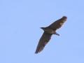 Bunyip Bird in flight. M.Herring.jpg