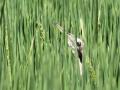 Australasian Bittern head in rice. M.Herring