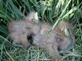 4 day old Australasian Bittern chicks in rice crop. M.Herring
