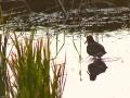 Australian Painted Snipe foraging on edge of rice field. M.Herring