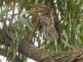 Juvenile Nankeen Night-heron. Mark Robb