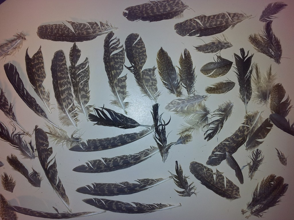 Juvenile Australasian Bittern feathers. Photo by Matt Herring