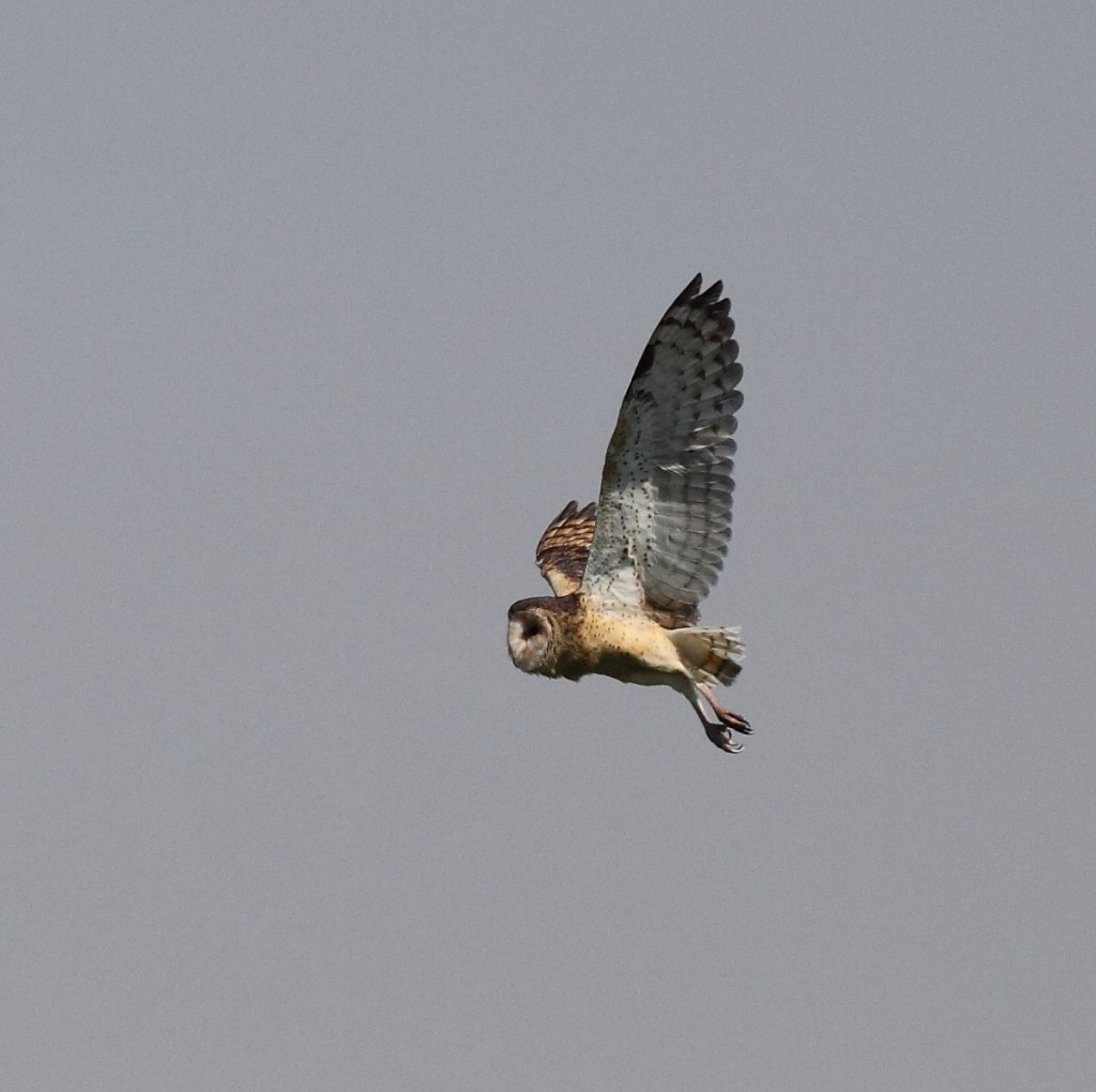 Eastern Grass Owl in flight over rice field. Photo by ANDREW SILCOCKS