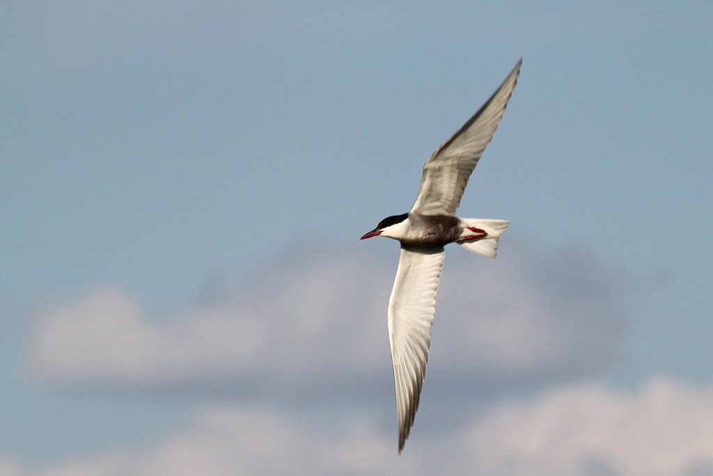 Whiskered Tern above a rice field. Photo by Matt Herring