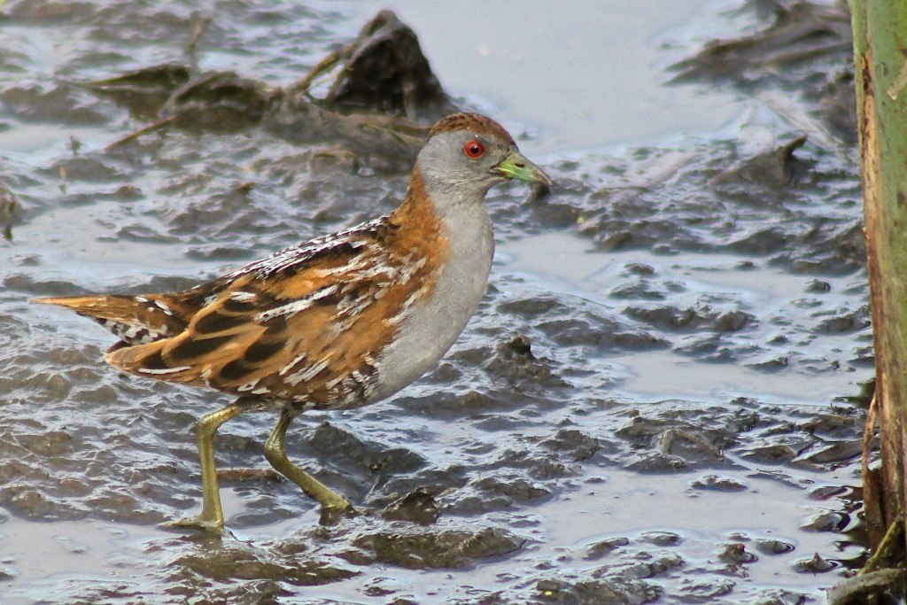 Baillon's Crake. Photo by Matt Herring