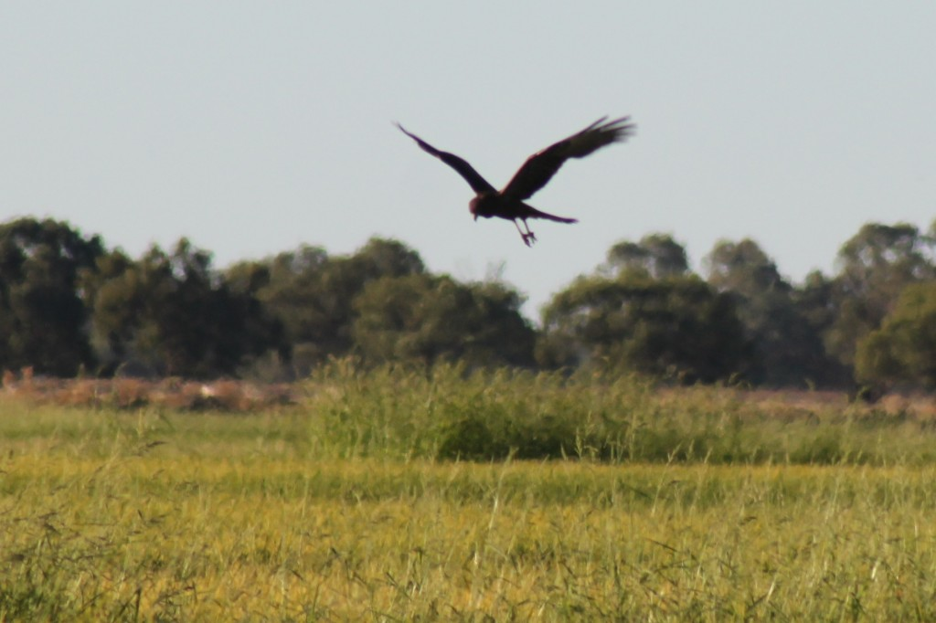 Swamp Harrier hunting over a rice field. Photo by Matt Herring
