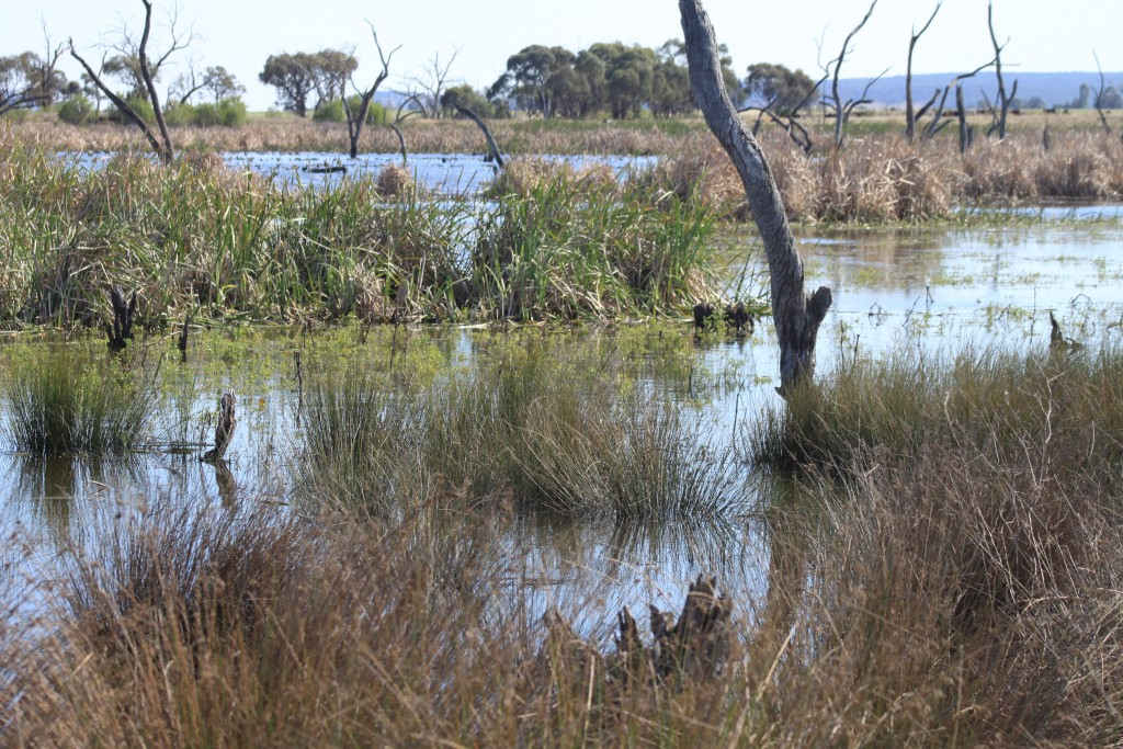 Constructed wetland near Leeton Photo by Matt Herring