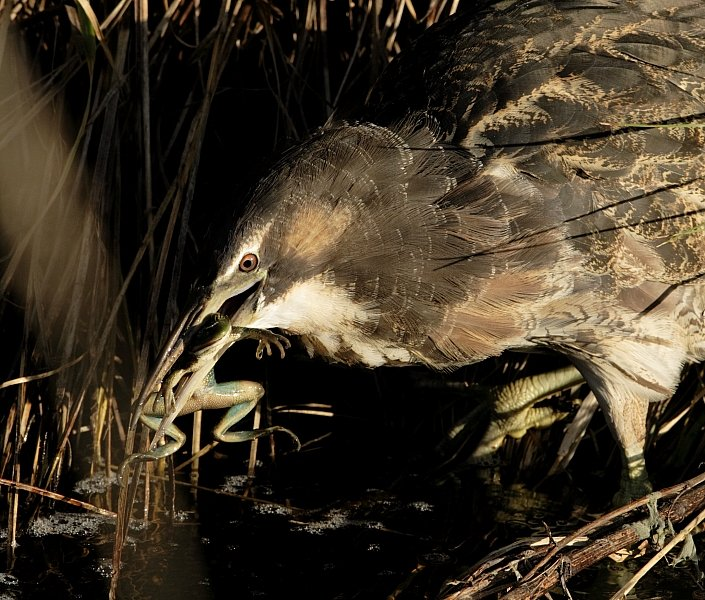 Australasian Bittern eats Growling Grass Frog PHOTO BY PETER MENKHORST